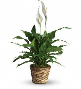Peace Lily in Basket, floor plant size