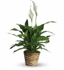 Peace Lily in Basket, table top size
