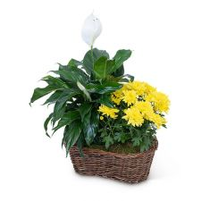 Peace Lily with Yellow Mum Plant